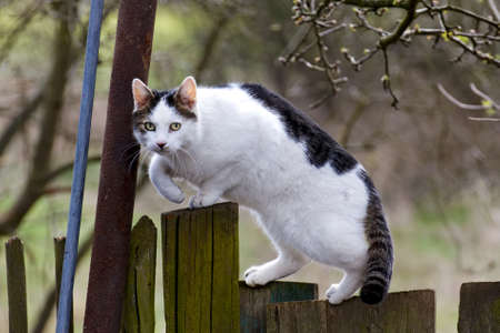 Healthy cat on a wooden country fence looks at the camera attentively  Stock Photo