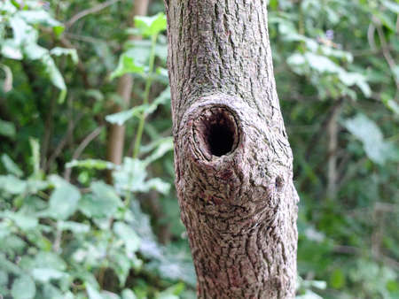 knothole: Knothole in a tree before the backdrop of a green thicket.