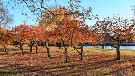 harvard university: Colorful fall trees on the banks of the Charles River at Harvard University campus in Cambridge, MA, USA. Editorial
