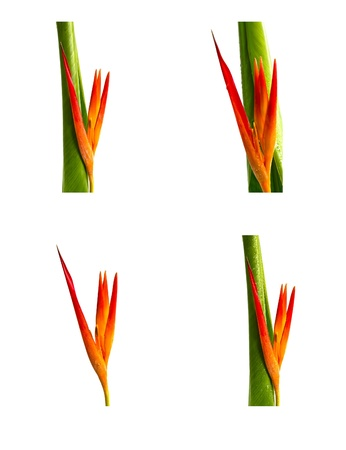 Collection of beautiful flowers (Bird of paradise) isolated on white background Stock Photo - 11440317