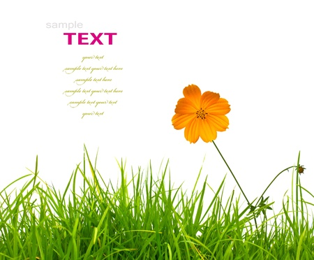 Beautiful yellow flower (Cosmos) and fresh spring green grass isolated on white background with copy-space. photo