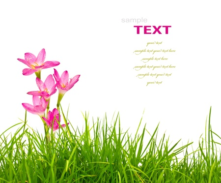 grass close up: Beautiful pink flowers and fresh spring green grass isolated on white background. Stock Photo