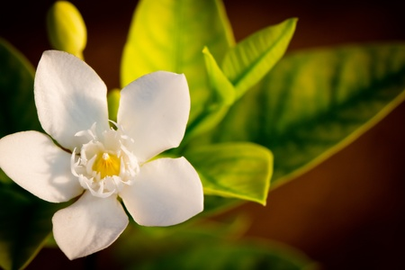 white flower over brown background Stock Photo - 13639134