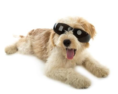 yorky: Cachorro de perro en el vaso aislado sobre fondo blanco
