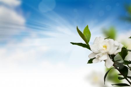 jasmine flower: Beautiful White Flower (Gerdenia Crape Jasmine) Stock Photo