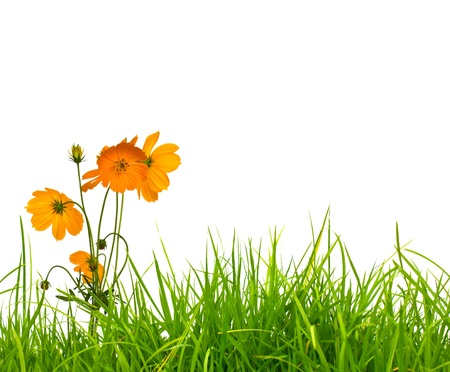 cosmos flowers: Beautiful yellow flower (Cosmos) and fresh spring green grass isolated on white background with copy-space.