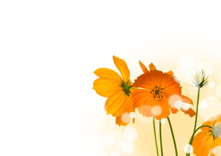 cosmos flowers: Beautiful yellow flower (Cosmos) isolated on white background.