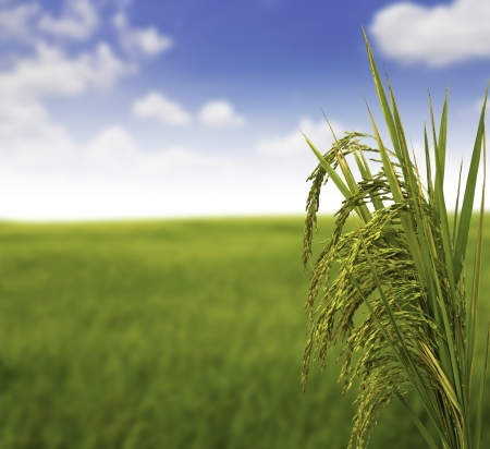 harvest time: Gold paddy rice Stock Photo
