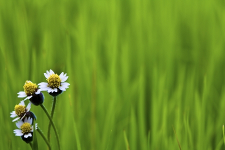 White flower on Green paddy rice photo