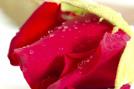 Beautiful red flower (Rose) isolated on white background photo