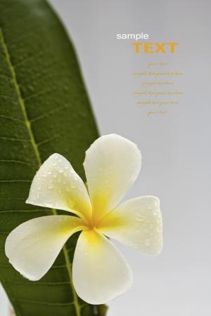 leelawadee: Beautiful white flowers with leaf (Leelawadee) isolated on white background