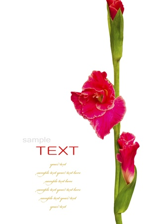 iridaceae: Beautiful Red Gladiolus on white background
