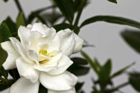 Beautiful White Flower (Gerdenia Crape Jasmine) photo