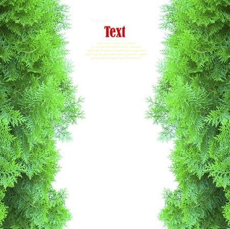 Green thuja, thuya isolated on white background with copy space. photo