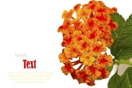 Beautiful flower (Lantana camara) isolated on white background. Stock Photo - 17490399