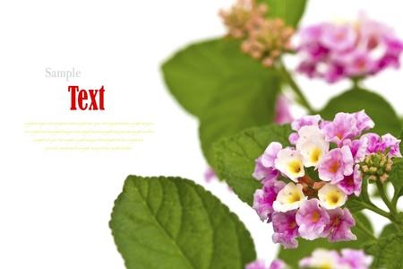 Beautiful flower (Lantana camara) isolated on white background. Stock Photo - 17490451