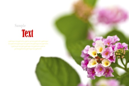 Beautiful flower (Lantana camara) isolated on white background. Stock Photo - 17490446
