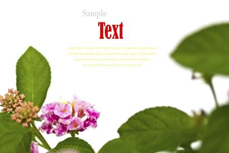Beautiful flower (Lantana camara) isolated on white background. Stock Photo - 17490393