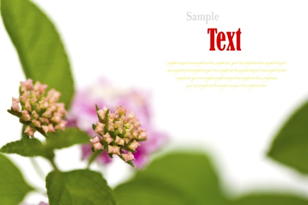 Beautiful flower (Lantana camara) isolated on white background. Stock Photo - 17490408