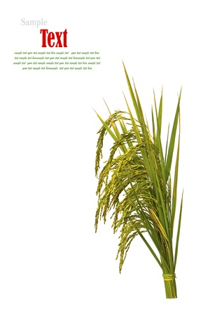 rice grains: Gold paddy rice on white background