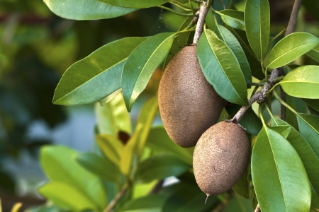 Fruta Sapodilla, tropical. photo