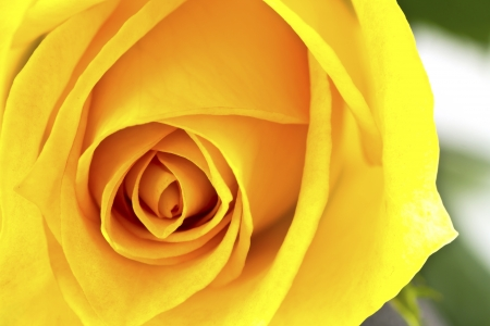 Close up of beautiful yellow rose flower. photo