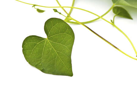 natural love: Green Heart Leaf isolated on white background.