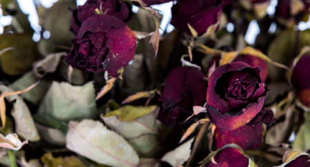 Dried rose photo