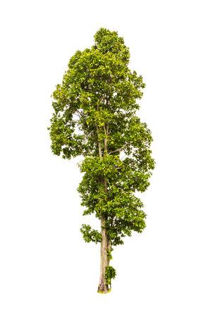 白い背景で隔離のツリー 写真素材