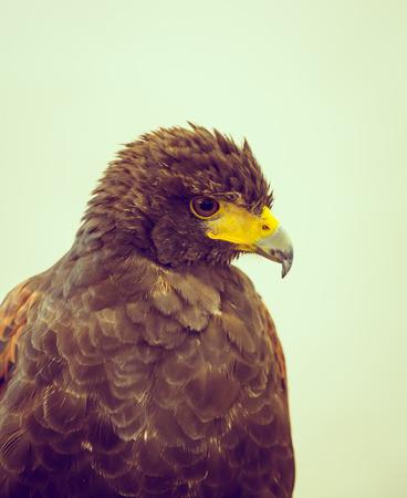 aigle royal: Golden Eagle (Image filtr�e trait�e effet vintage.)