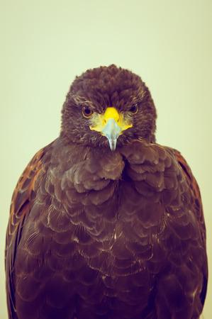 chrysaetos: Golden Eagle ( Filtered image processed vintage effect. )