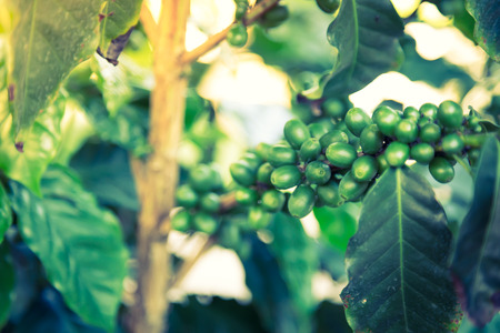 unpicked: Coffee beans on the branch  ( Filtered image processed vintage effect. )