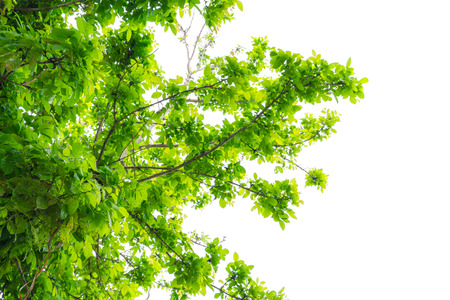 foret sapin: Green tree foresti�re Banque d'images