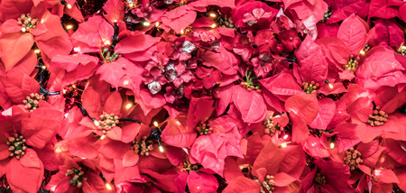 displays: Poinsettia plant leaves. Christmas displays Stock Photo