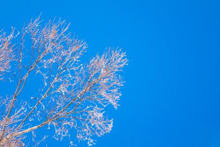 frozen trees: Frozen trees in winter with blue sky
