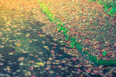 wilting: Colorful  Autumn maple leaf on the water ( Filtered image processed vintage effect. ) Stock Photo