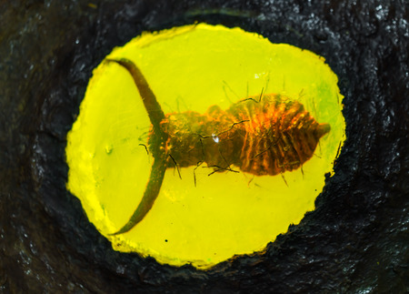 fossilized: Fossilized baltic amber with insect inside Stock Photo