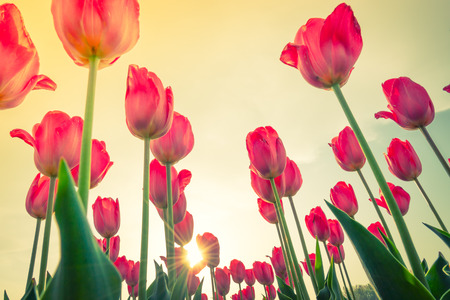 Beautiful bouquet of tulips in spring season ( Filtered image processed vintage effect. )
