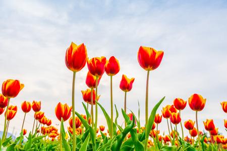 Beautiful bouquet of tulips in spring season