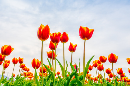 Bellissimo mazzo di tulipani nella stagione primaverile