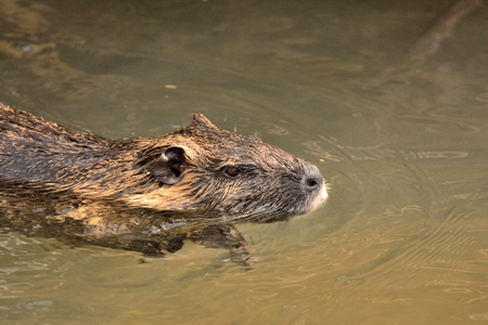 nutria: Nutria swimming