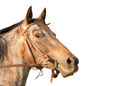 appaloosa: horesehead Quarter-Horse Appaloosa