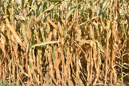 harvest field: Corn field before harvest