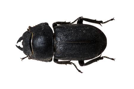 beetle: Tenebrionid Beetle
