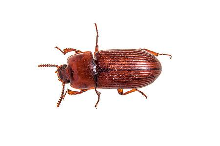 Red flour beetle Stock fotó