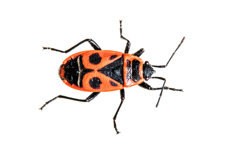 beetle: fire beetle Stock Photo