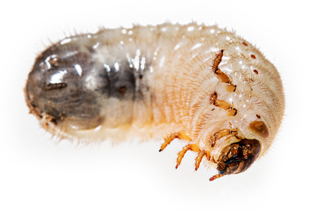grub: cockchafer grub Stock Photo