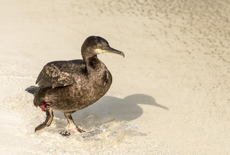 cormorant: Cormorant on the beach