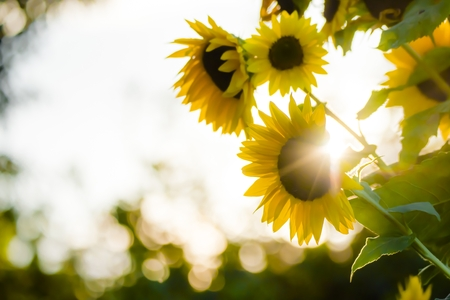 dazzled: Sunflowers in the backlight