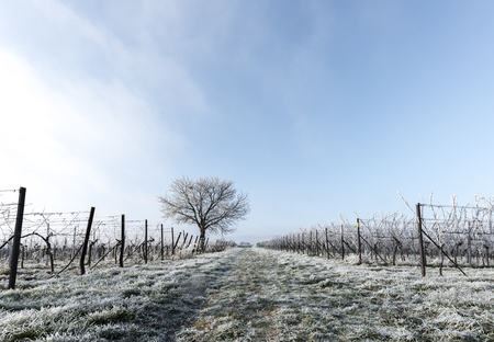 Grape vines and walnut tree in frost Stock Photo